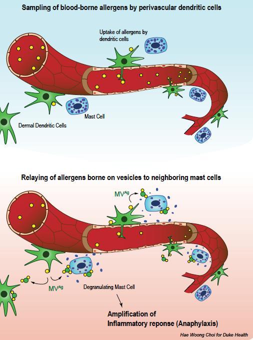 Dendriticc Cells Facilitate Anaphylactic Shock